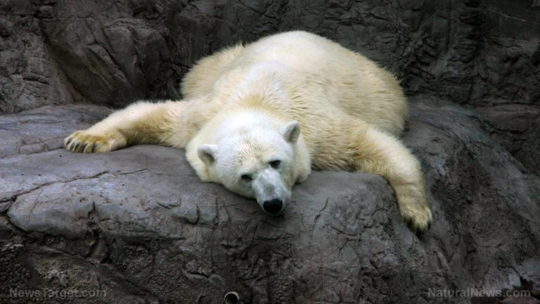 "National Geographic finally comes clean: Super viral video of polar bear ""starving from climate change"" was totally fake news"