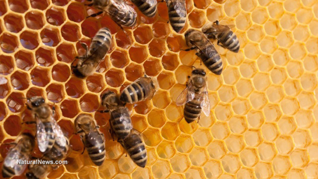 Photo of Monsanto's weedkiller BOMBSHELL: It murders honey bees, too, contributing to global collapse of the food supply