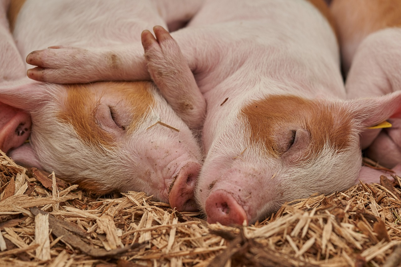 Photo of Emerging Worldwide Food Crisis: An Outbreak Of African Swine Fever Is Devastating The Global Pig Population, And Pork Prices Are Skyrocketing