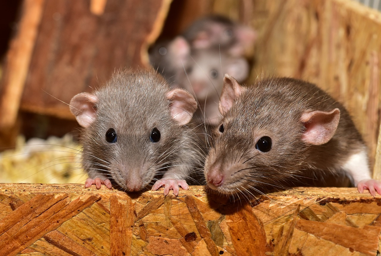 Photo of Which Major West Coast City Is Being Overwhelmed By Rats, Drugs, Crime, Piles Of Garbage And Hordes Of Homeless People?