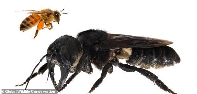 Photo of Back from the dead: World's biggest bee, thought to be extinct for decades, found in Indonesia