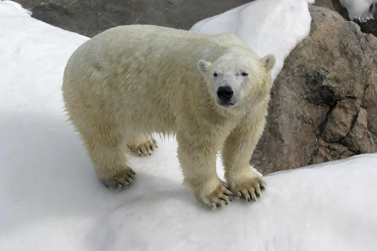 Photo of Climate alarmists drop the polar bear as their mascot since polar bears are thriving, with record population numbers