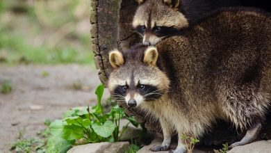 Photo of News Media 'Attacked' By Raccoons At White House