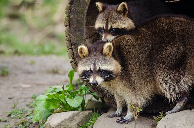 News Media 'Attacked' By Raccoons At White House
