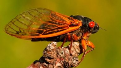 """Photo of Counterfeit News Network (CNN) promotes eating dangerous mercury-loaded cicada bugs that have been underground for 17 years as the """"future of food"""""""