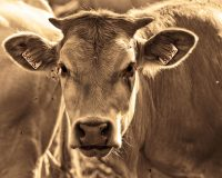 And So It Begins – 1000s Of Cattle Are Literally Dropping Dead From Starvation In Northern Mexico